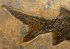 EARLIEST BONY FISH FOSSIL PERMIAN PARAMBLYPTERUS FROM BEFORE THE DINOSAURS *F165