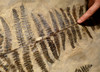 MASSIVE PREHISTORIC PERMIAN SEED FERN PLANT FOSSIL FROM BEFORE THE DINOSAURS  *PLX002