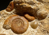 LARGE JURASSIC OCEAN MASS EXTINCTION AMMONITE FOSSIL FROM GERMANY *AMX353
