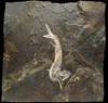 F035 - RARE ACANTHODES SPINY SHARK FROM THE PERMIAN WITH EXCELLENT PRESERVATION