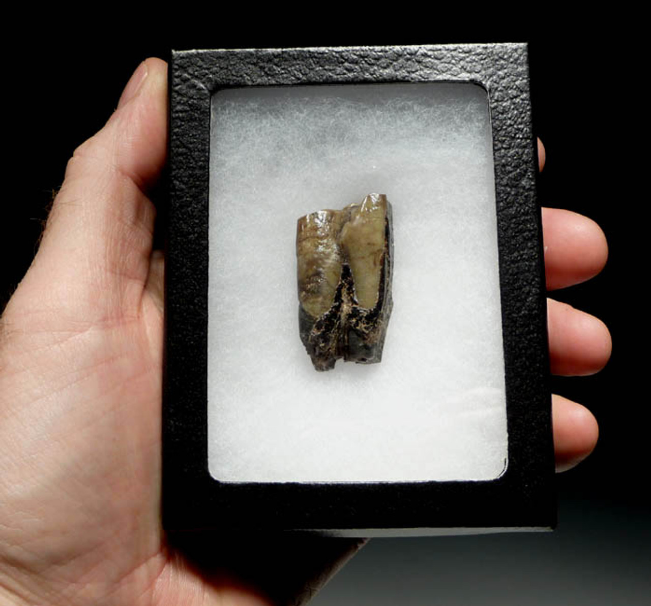 LMX019 - INTACT SOUTH AMERICAN TOXODON MOLAR TOOTH WITH PARTIAL ROOTS