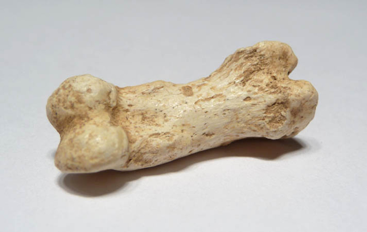 LMX014 - EUROPEAN CAVE HYENA FOSSIL TOE BONE FROM ENGLAND