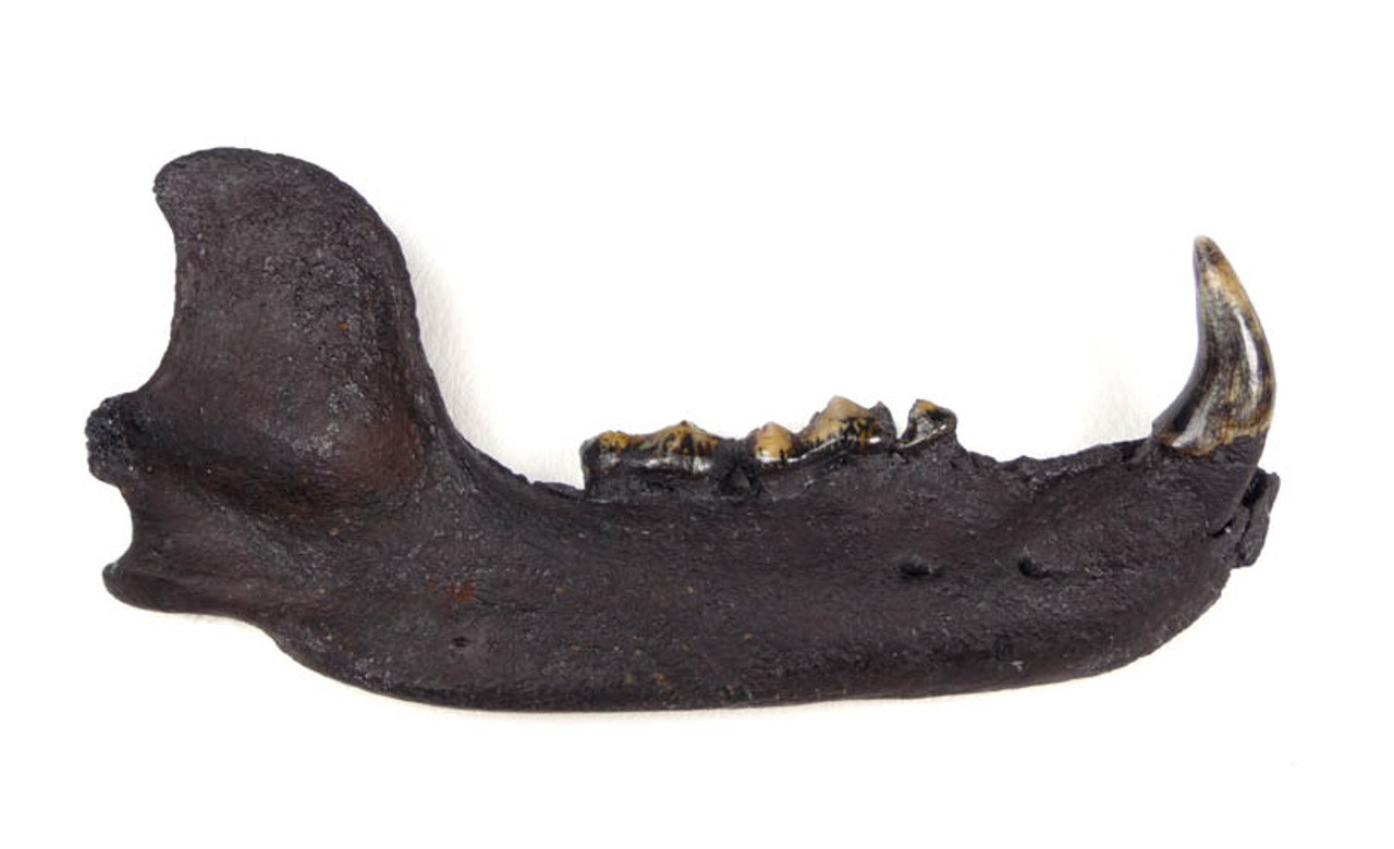 LM58-001 - ULTRA RARE PLEISTOCENE FOSSIL COMPLETE BLACK BEAR MANDIBLE IN PERFECT CONDITION WITH ORIGINAL DENTITION