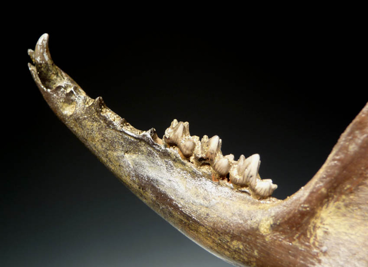 LMX012 - RARE COMPLETE PLEISTOCENE FOSSIL DIDELPHIS OPOSSUM JAW WITH TEETH