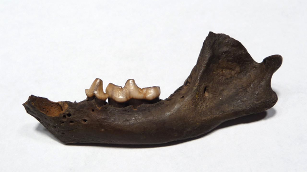 LMX008 - PLEISTOCENE FOSSIL MEPHITIS SKUNK MANDIBLE WITH TEETH