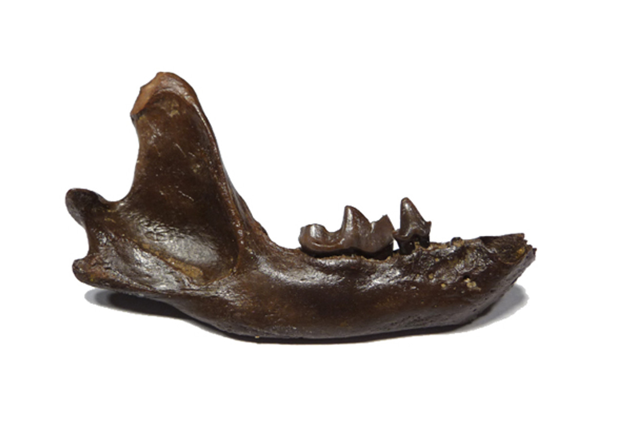 LMX009 - PLEISTOCENE FOSSIL MEPHITIS SKUNK MANDIBLE WITH TEETH
