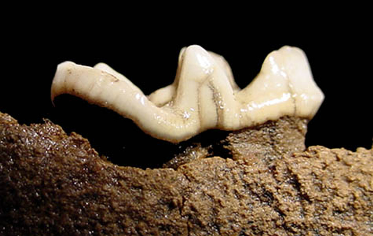 LM48-002 - PLEISTOCENE FOSSIL LUTRA CANADENSIS OTTER JAW WITH COMPLETE MOLAR TOOTH