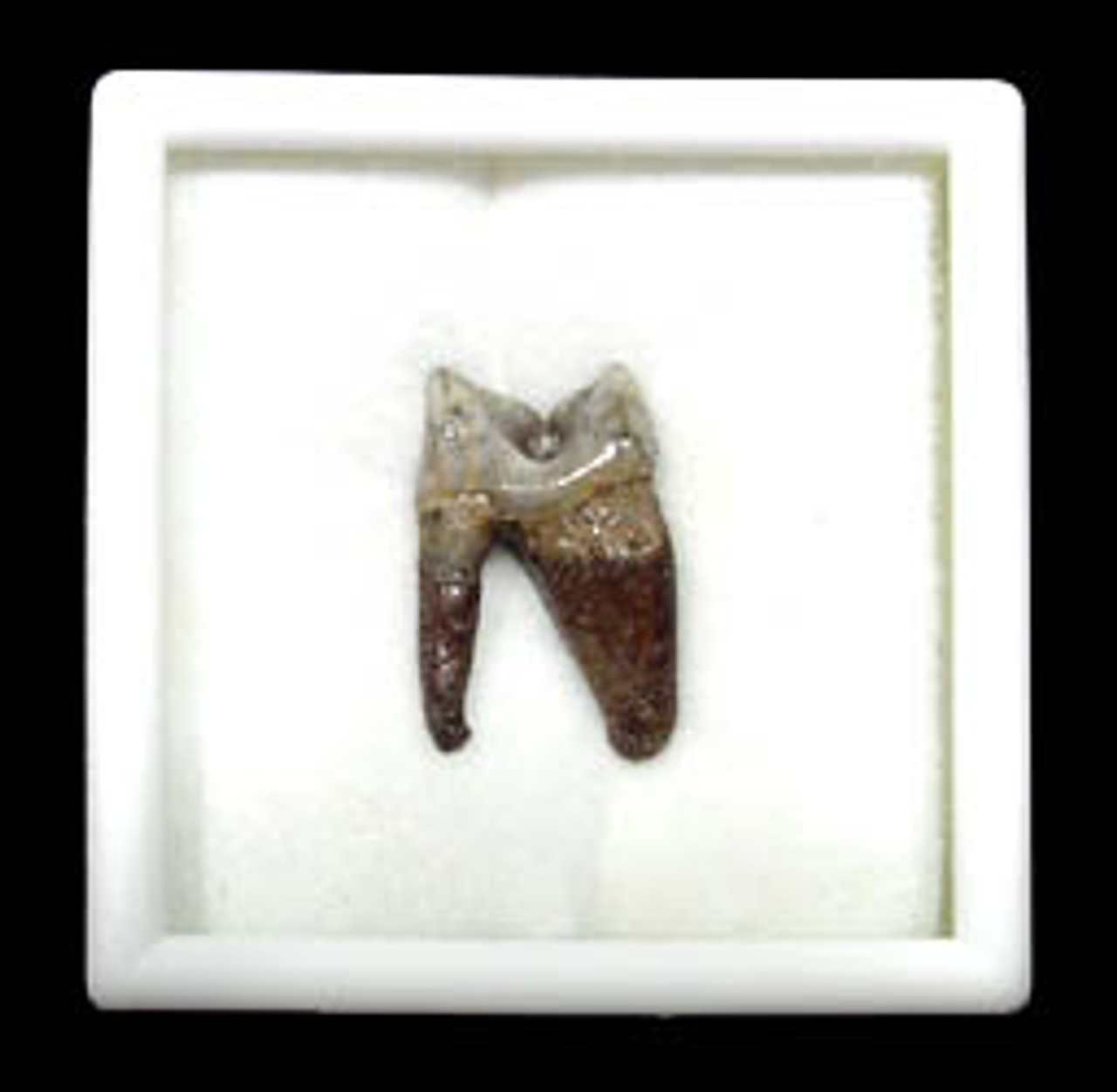 LM59-001 - ULTRA RARE INTACT CARNASSIAL TOOTH WITH ROOT FROM PLEISTOCENE MARGAY CAT