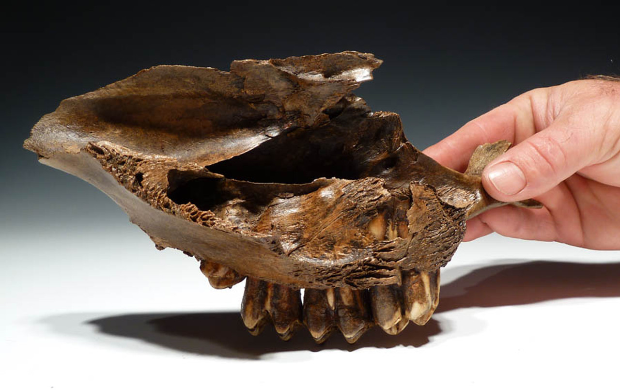LM17-029 - EUROPEAN FOSSIL ICE AGE LATE AUROCHS PARTIAL SKULL AND MAXILLA WITH ORIGINAL INTACT TEETH