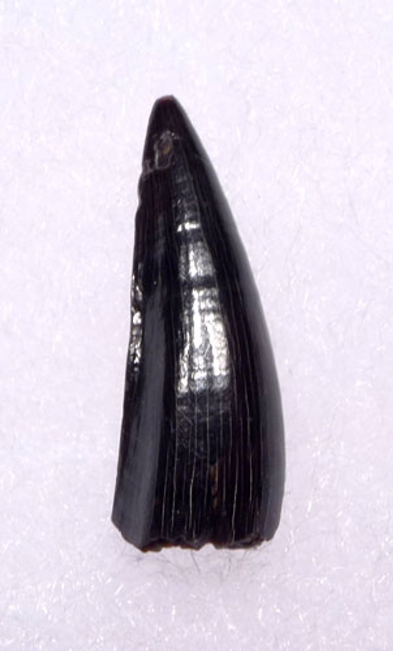 CROC008 - BLACK AND BLUE DINOSAUR-ERA LEIDYOSUCHUS CROCODILE TOOTH FROM THE JUDITH RIVER FORMATION