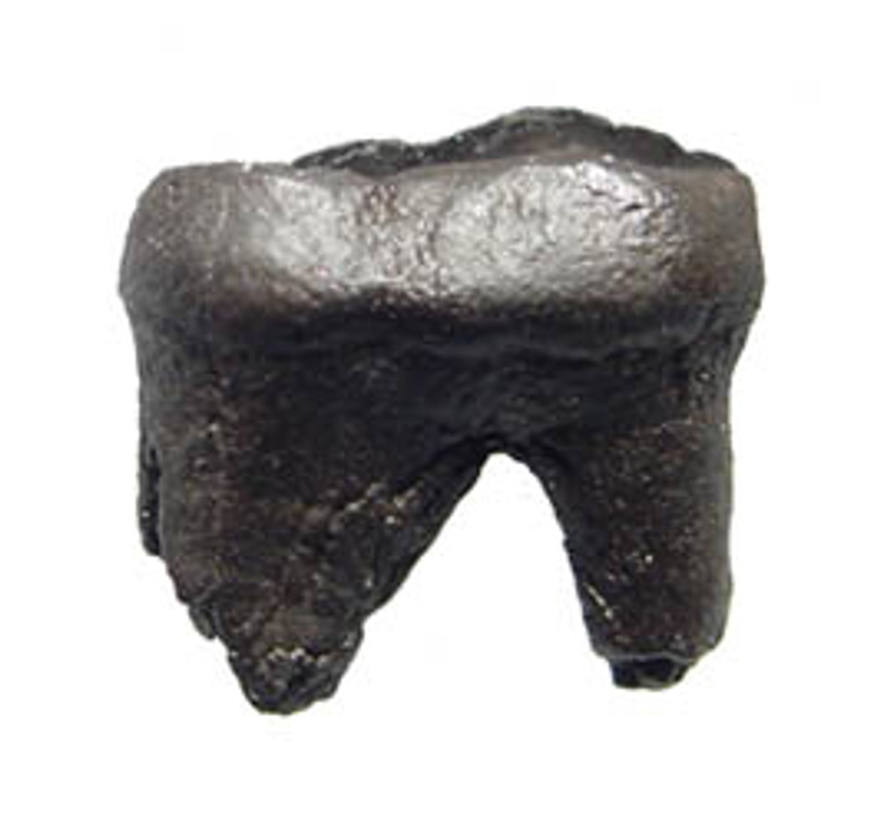 LM49-002 - EXTINCT SHORT-FACED BEAR MOLAR TOOTH WITH ROOT