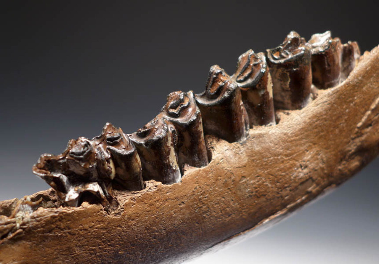 LMX088 - SUPERB LARGE EUROPEAN ICE AGE STEPPE WISENT BISON MANDIBLE WITH ORIGINAL TEETH