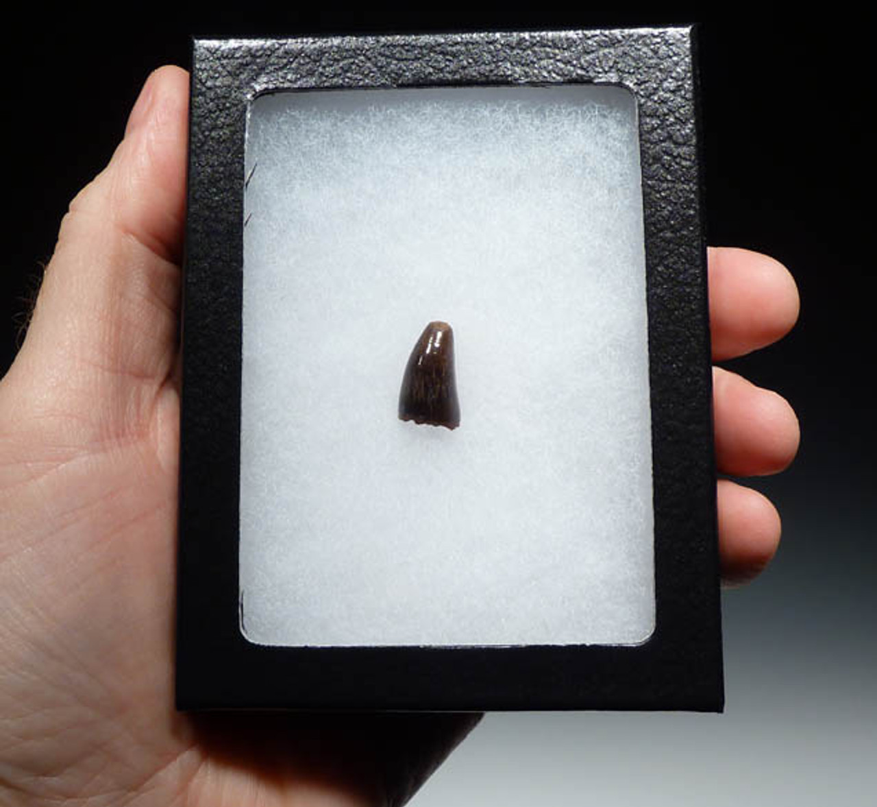 MV10-037 - DINOSAUR-ERA LEIDYOSUCHUS CROCODILE TOOTH