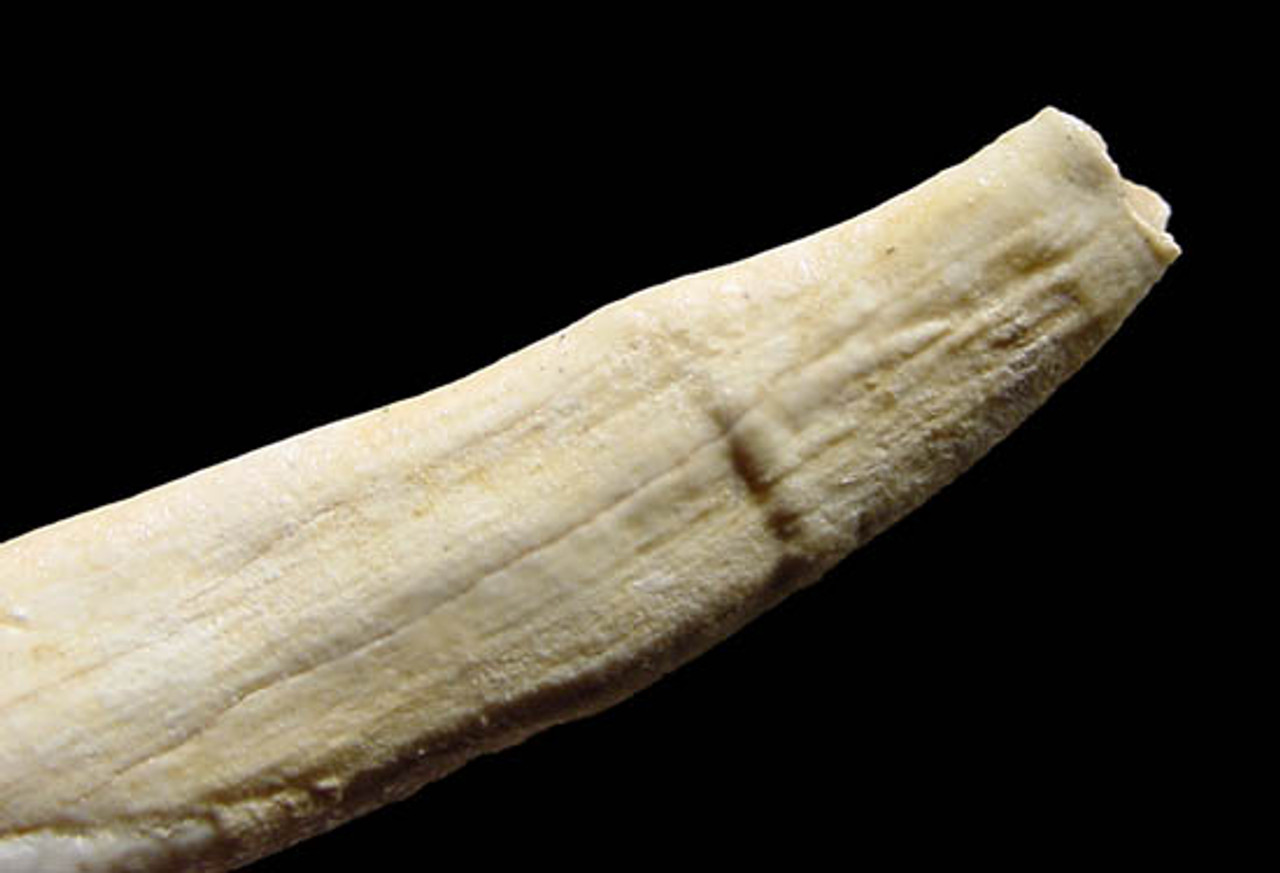 LM41-011 - EUROPEAN FOSSIL WILD BOAR COMPLETE LOWER INCISOR WITH INTACT ROOT
