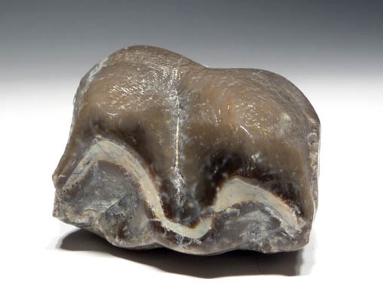 LMX002 - RARE TITANOTHERE FOSSIL BRONTOPS MOLAR TOOTH WITH FULL ROOT