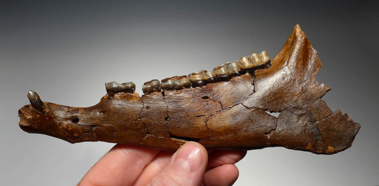 LMX079 - ULTRA-RARE LEFT MANDIBLE WITH ORIGINAL INTACT MOLARS AND CANINES OF THE EARLY MIOCENE THREE-TOED HORSE ANCHIPPUS