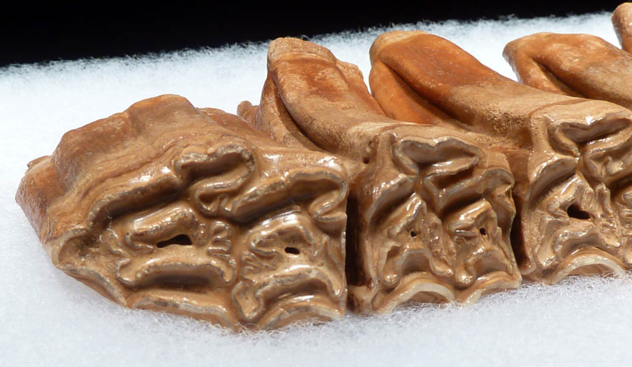 H023 - PERFECT COMPLETE FOSSIL MAXILLARY DENTITION OF AN ICE AGE PLEISTOCENE NORTH AMERICAN HORSE