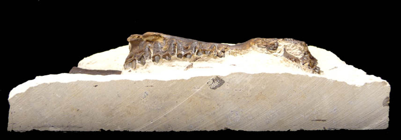 H004 - EOCENE PERIOD PLAGIOLOPHUS PRIMITIVE THREE-TOED HORSE MAXILLAE WITH ALL TEETH EMBEDDED IN THICK ORIGINAL MATRIX SLAB