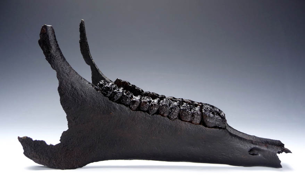 H008 - ICE AGE PLEISTOCENE EUROPEAN FOSSIL HORSE MANDIBLE WITH COMPLETE ORIGINAL DENTITION