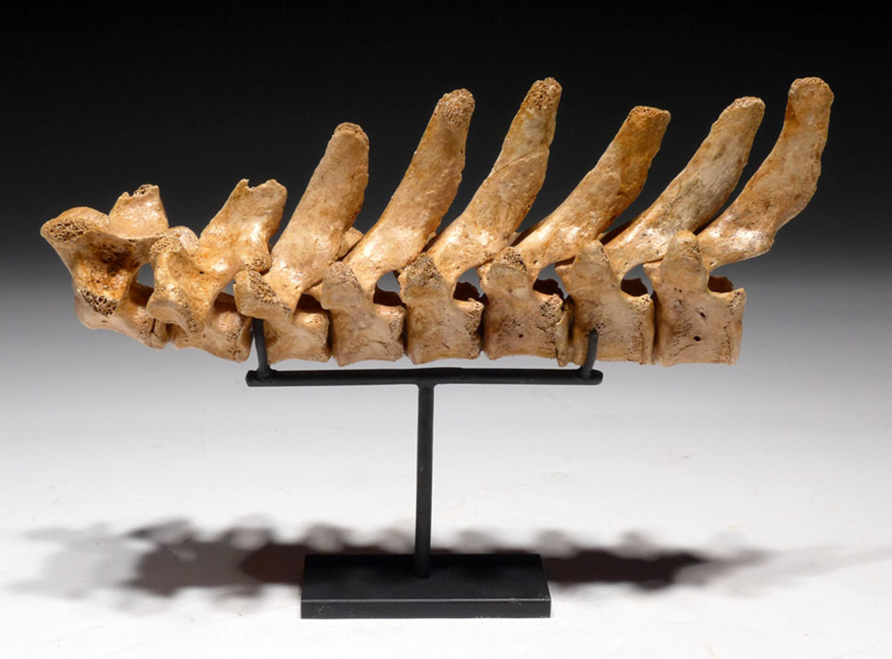 LM9-010 - ULTRA-RARE FOSSIL JAGUAR VERTEBRAL COLUMN WITH INTACT CANAL AND DORSAL PROCESSES FROM SAME ANIMAL