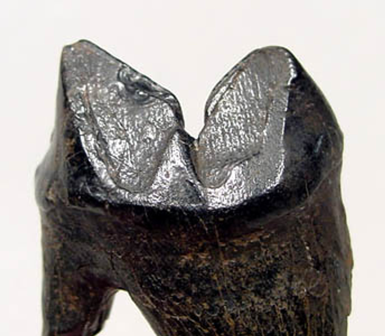 "LM9-006 - LARGE COMPLETE PREHISTORIC FOSSIL JAGUAR CARNASSIAL ""MEAT-SHEARING"" TOOTH WITH ROOT"