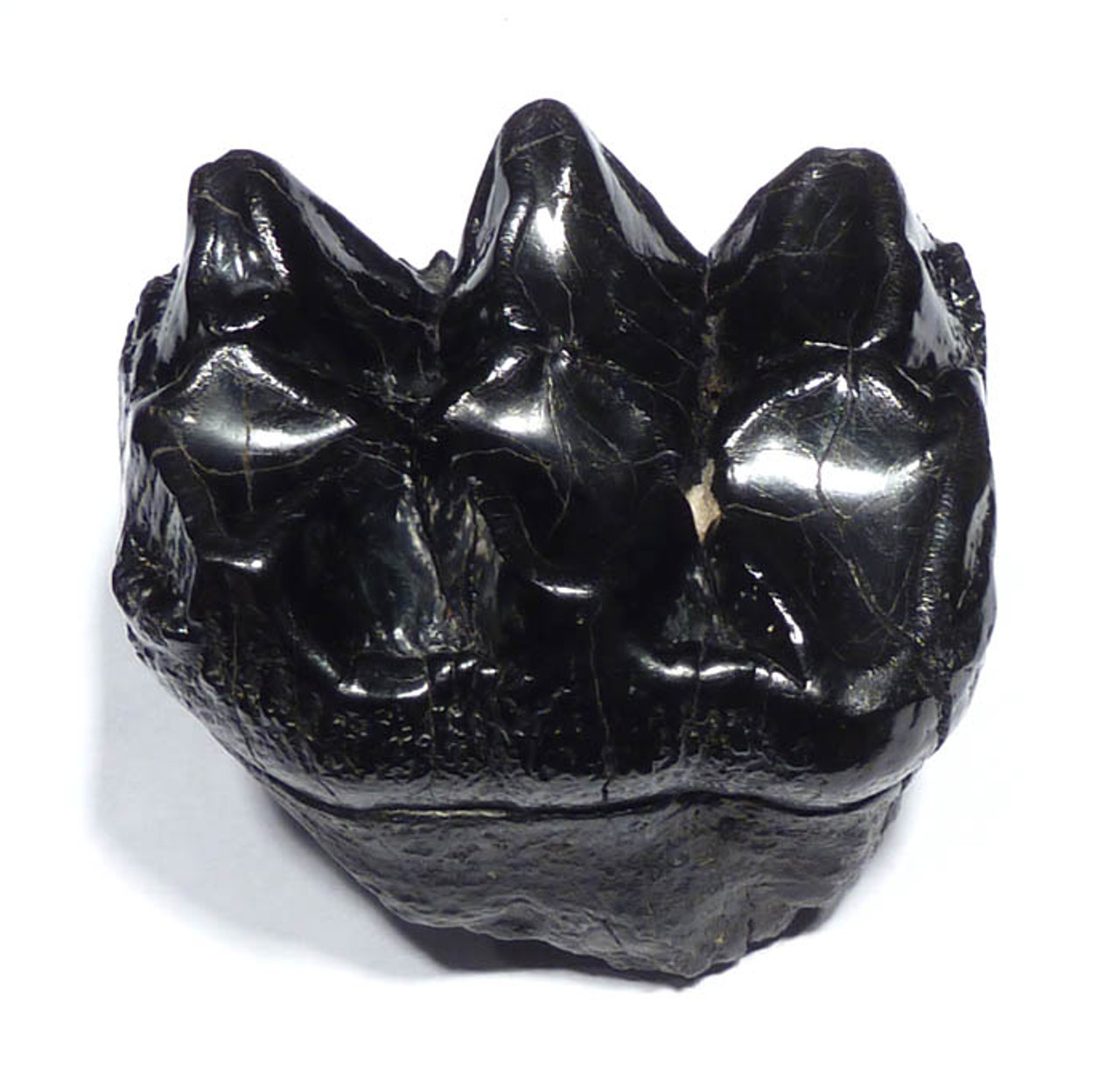 LM15-039 - SUPREME BABY MASTODON ELEPHANT MOLAR  WITH INTERESTING TOOTH DECAY CAVITY