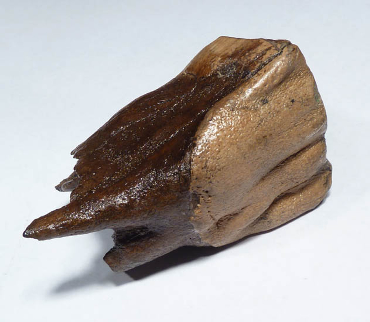 LM12-059  - FOSSIL GOLD AND BROWN  FINEST GRADE WOOLLY RHINOCEROS UPPER MOLAR TOOTH WITH INTACT ROOT