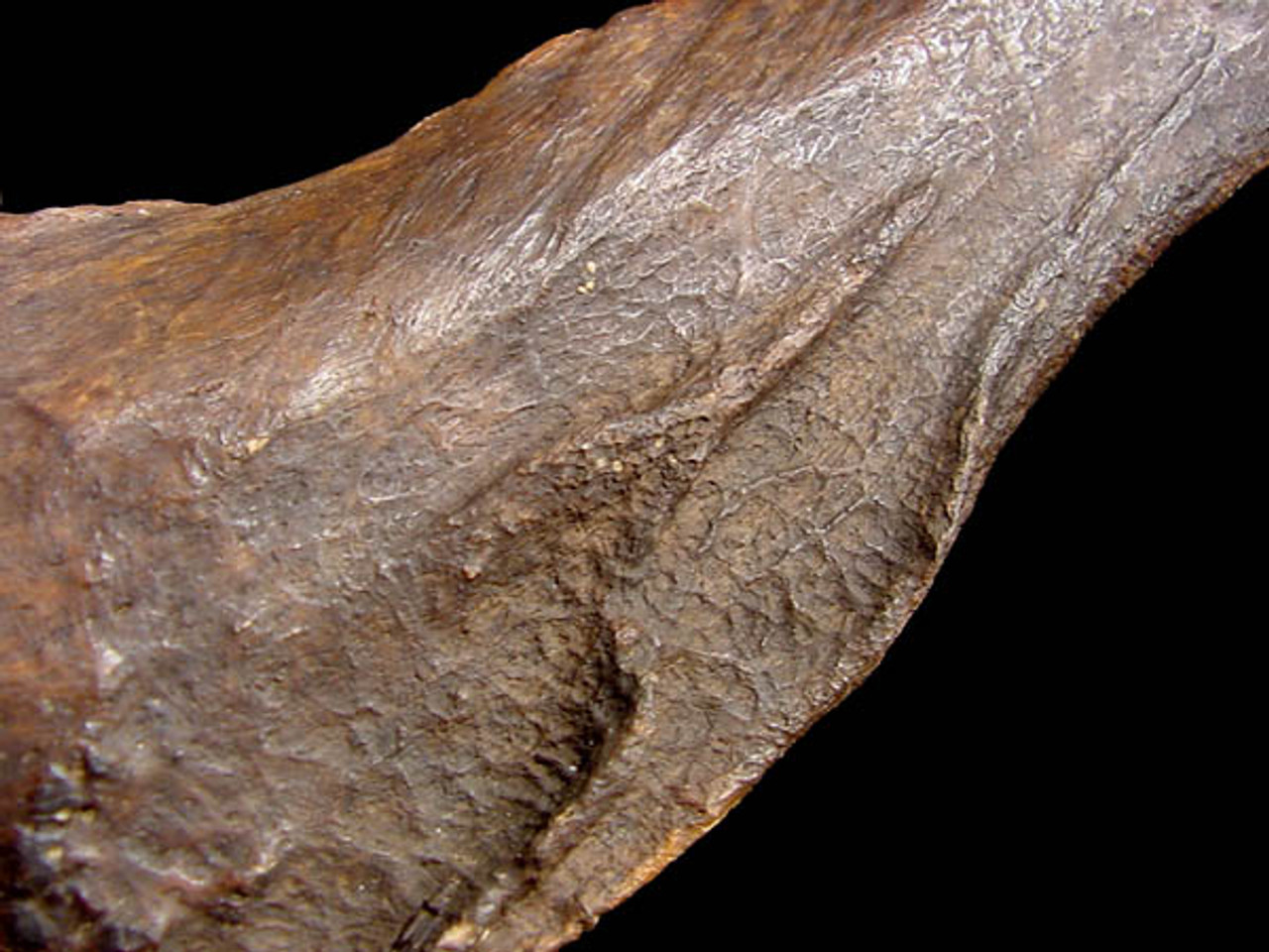 LM3-006 - FOSSIL THINOBADISTES GIANT GROUND SLOTH COMPLETE AND PERFECT RADIUS BONE