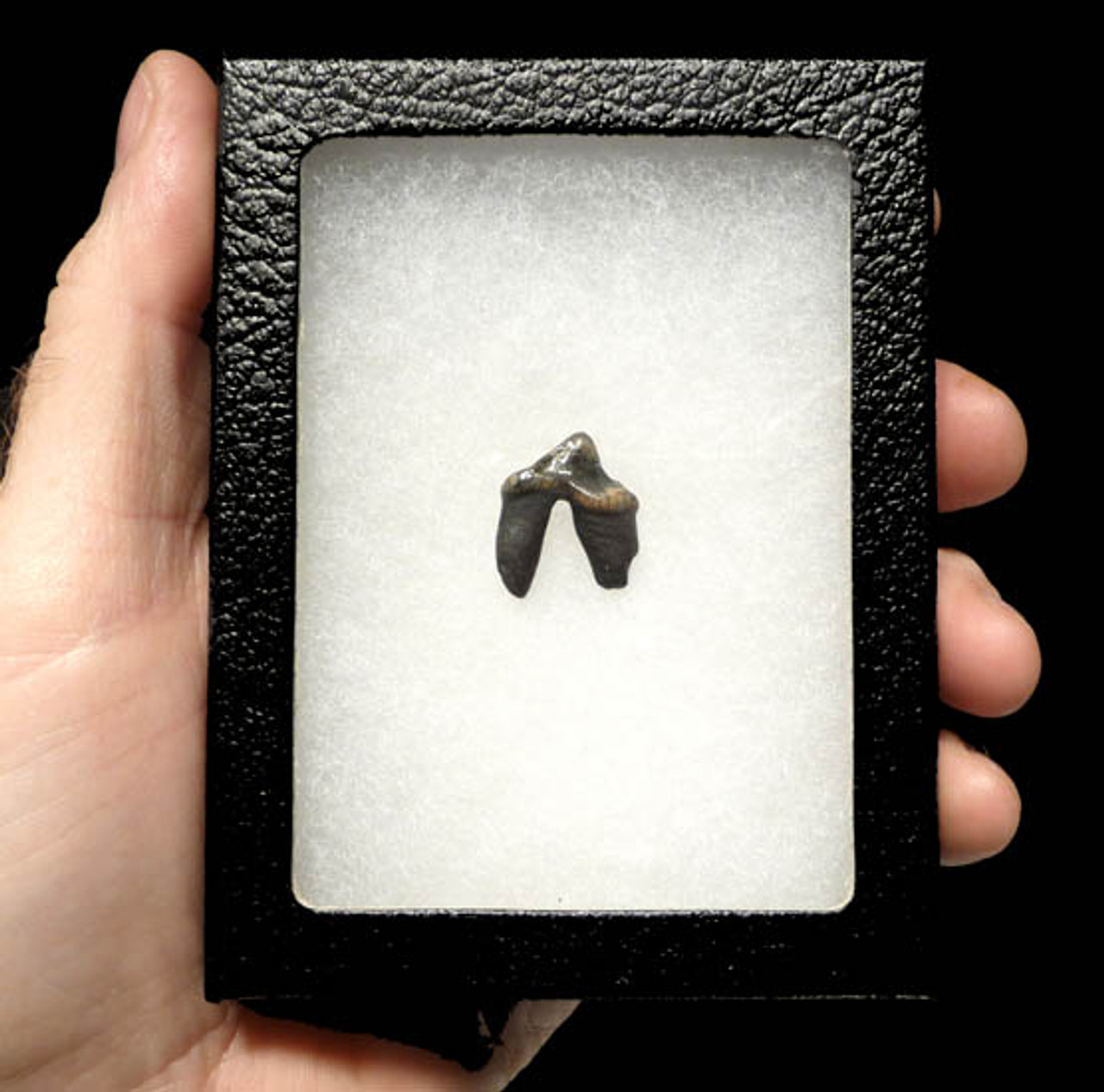 LM6-010 - PERFECT DIRE WOLF TOOTH WITH COMPLETE UNDAMAGED DOUBLE ROOT