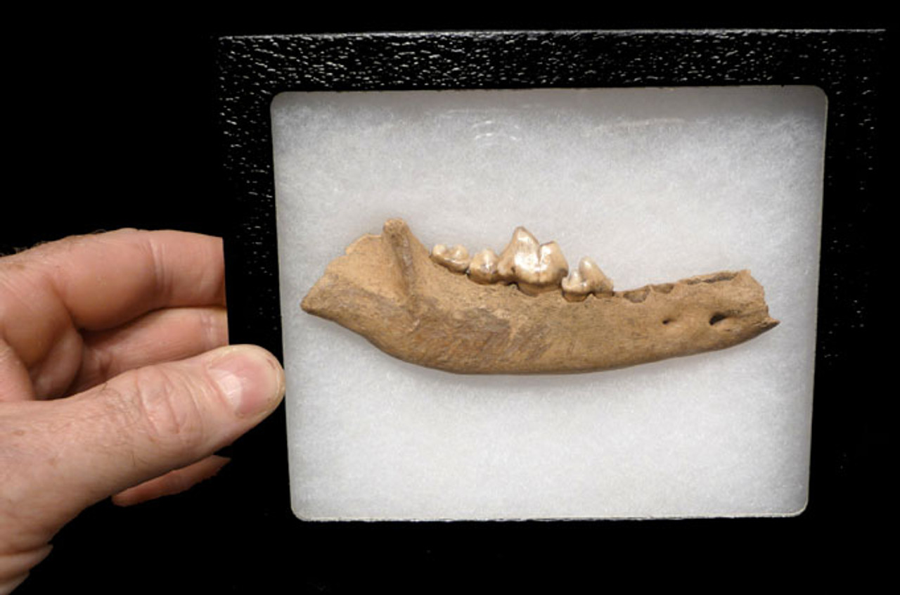 LM16-011 - EUROPEAN ICE AGE FOSSIL GRAY WOLF CANIS LUPUS JAW WITH TEETH