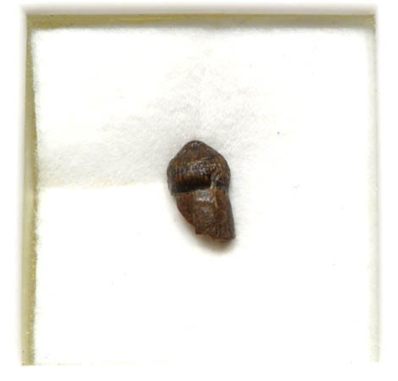 MV10-124 - CRETACEOUS BRACHYCHAMPSA ALLIGATORINE TOOTH FROM HELL CREEK