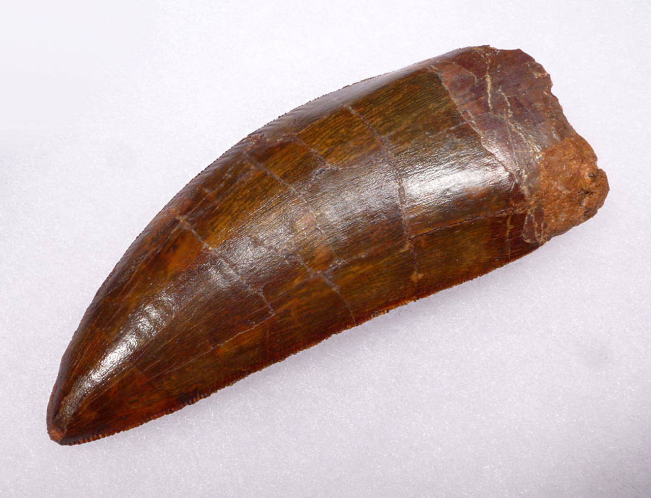 DT2-047 - UNBROKEN STUNNINGLY BEAUTIFUL INVESTMENT-CLASS 3.75 INCH CARCHARODONTOSAURUS DINOSAUR TOOTH