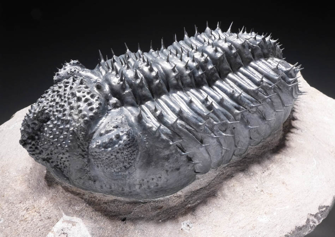 """TRX265 - ULTRA RARE BLUE """"BLUE PHANTOM"""" SPINY DROTOPS ARMATUS TRILOBITE WITH FREE-STANDING SPINES AND PERFECT EYES"""