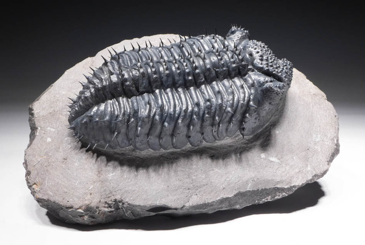 "TRX265 - ULTRA RARE BLUE ""BLUE PHANTOM"" SPINY DROTOPS ARMATUS TRILOBITE WITH FREE-STANDING SPINES AND PERFECT EYES"