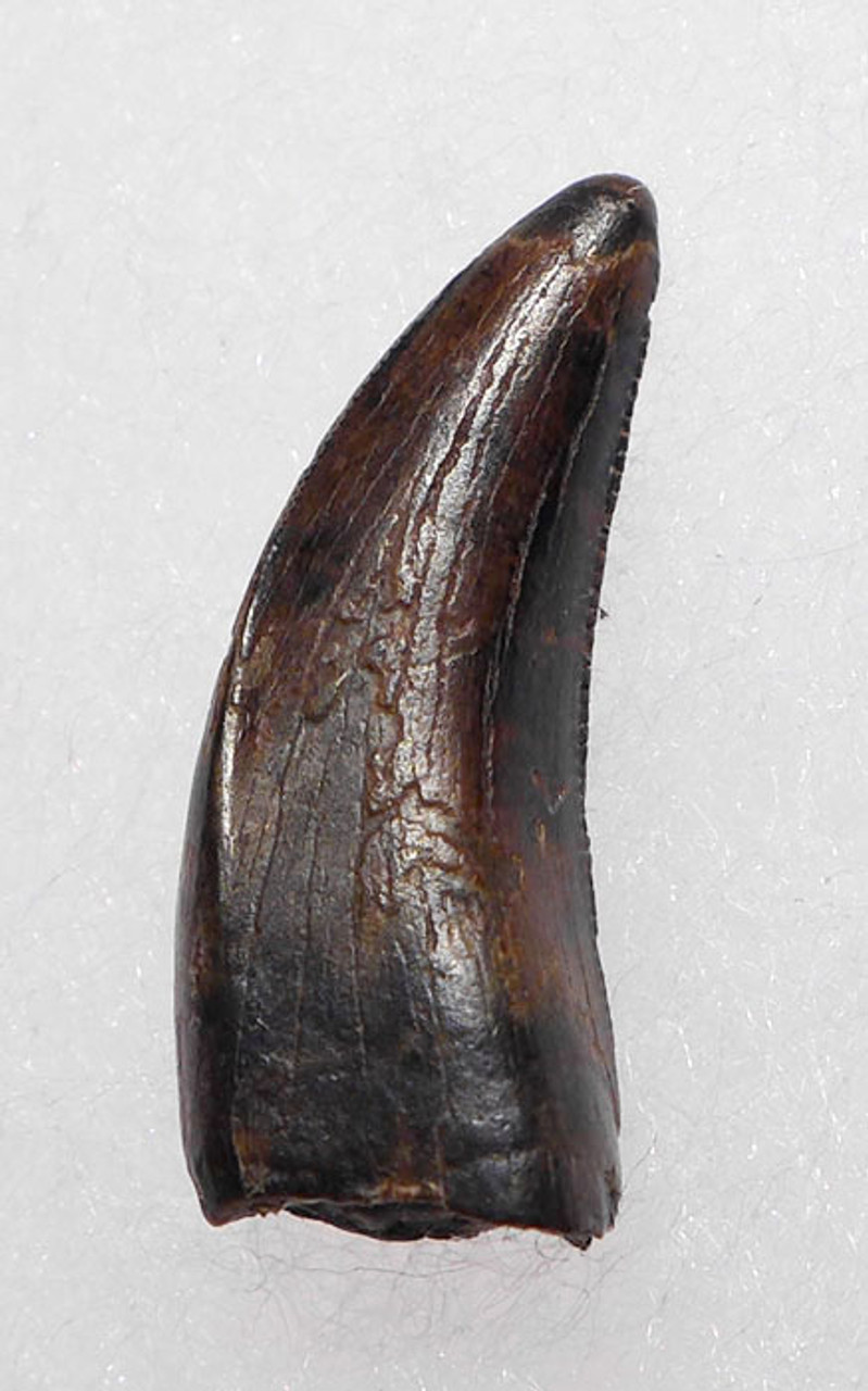 "DT6-205 - LARGE DROMAEOSAURUS ""RAPTOR"" DINOSAUR TOOTH FROM HELL CREEK"