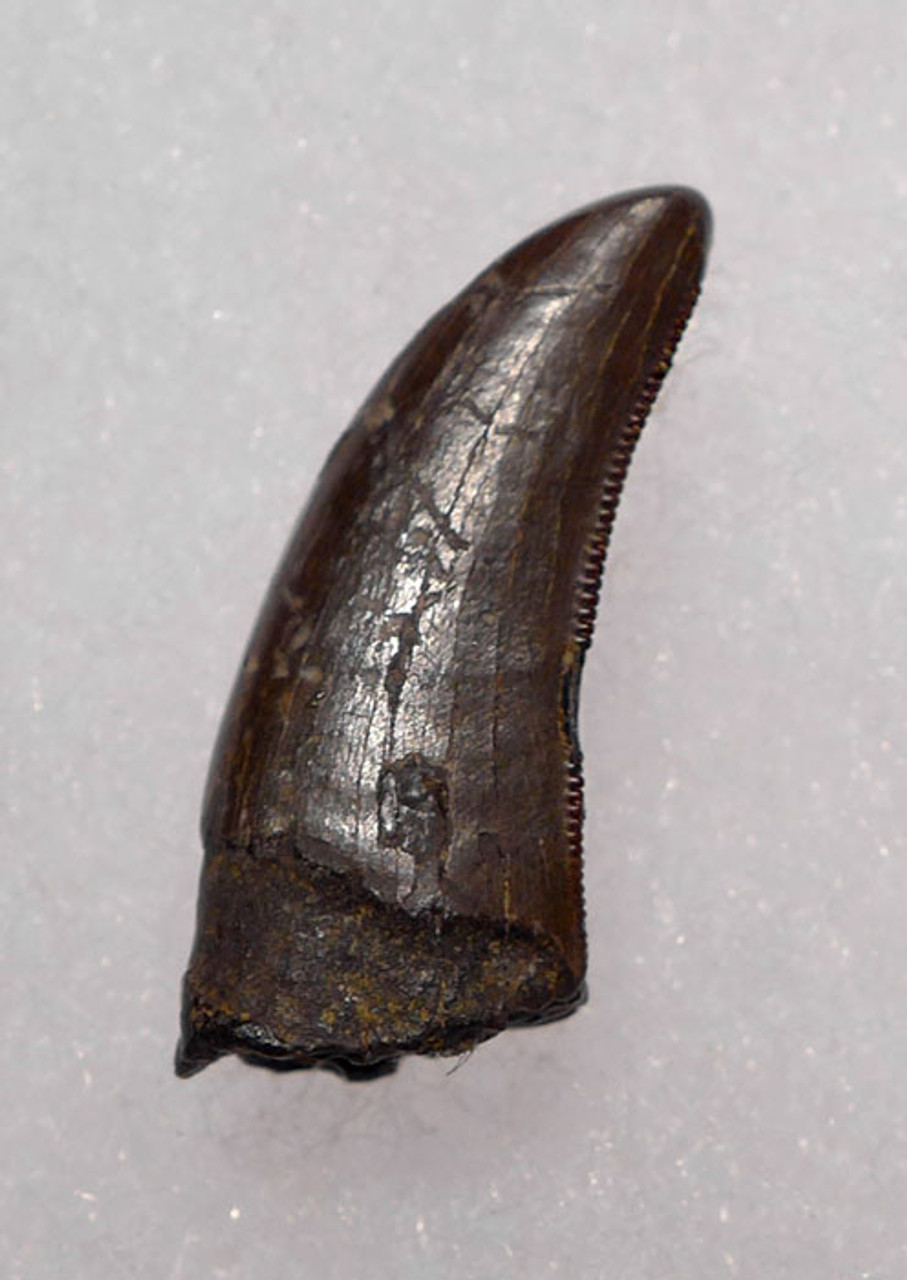 "DT6-206 - LARGE DROMAEOSAURUS ""RAPTOR"" DINOSAUR TOOTH FROM HELL CREEK"