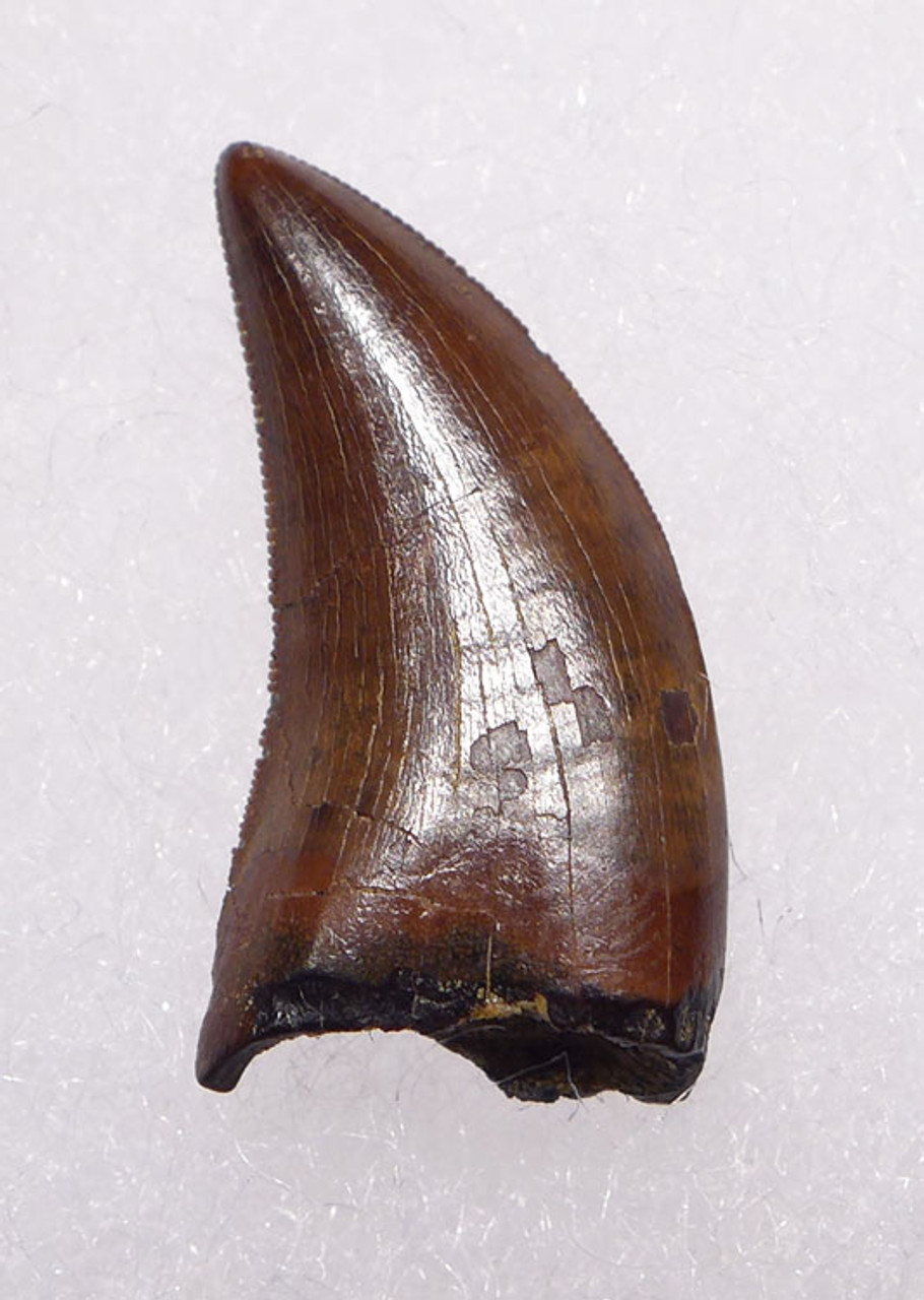 "DT6-207 - LARGE DROMAEOSAURUS ""RAPTOR"" DINOSAUR TOOTH FROM HELL CREEK"