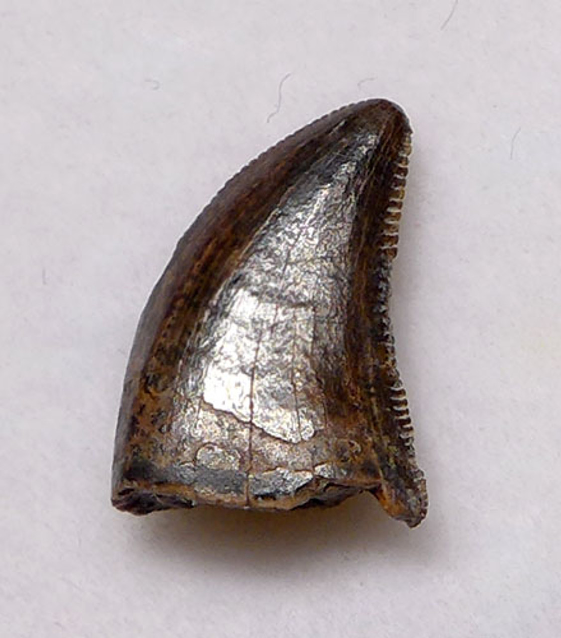 "DT6-216 - DROMAEOSAURUS ""RAPTOR"" DINOSAUR TOOTH FROM HELL CREEK"