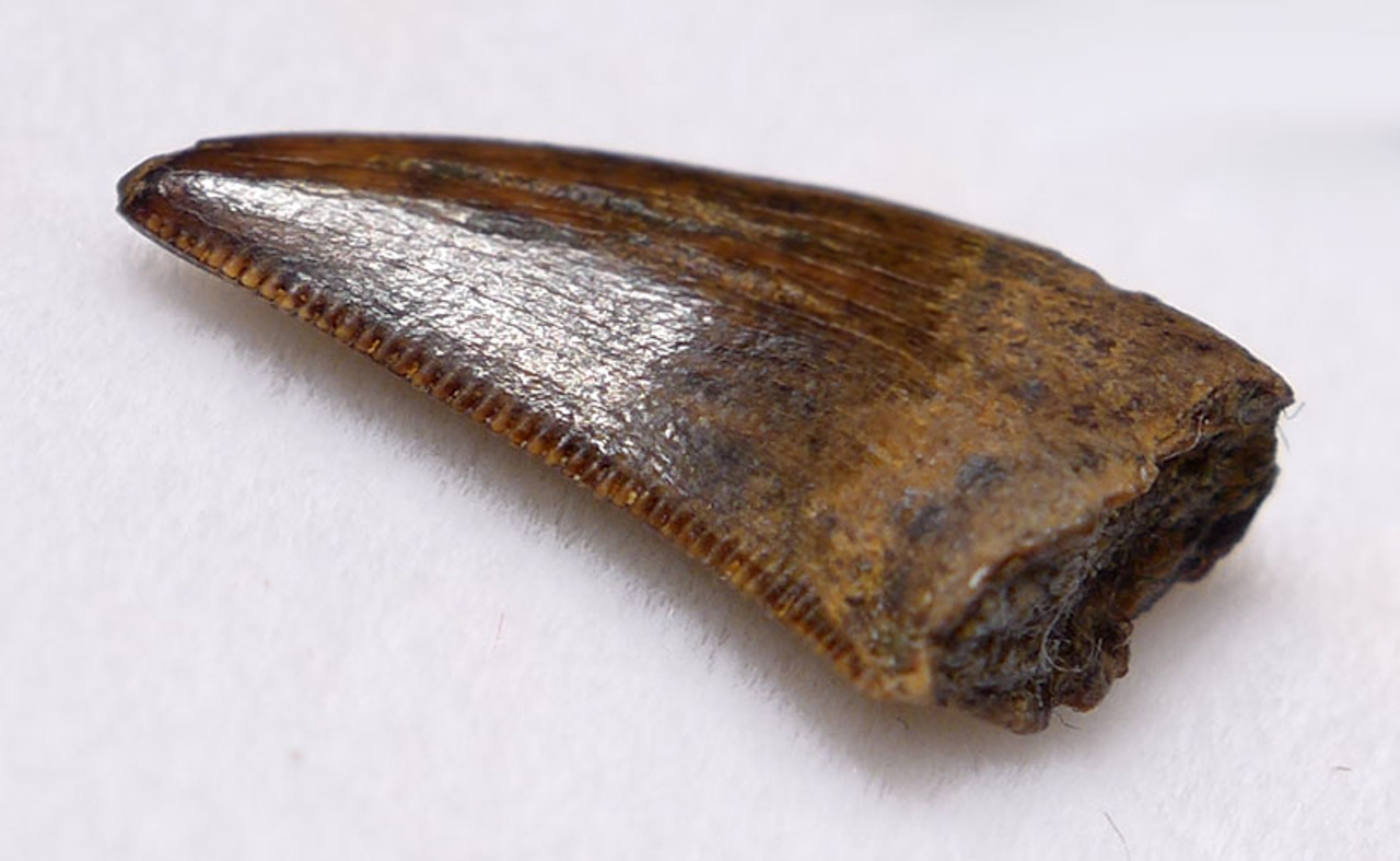 "DT6-214 - DROMAEOSAURUS ""RAPTOR"" DINOSAUR TOOTH FROM HELL CREEK"