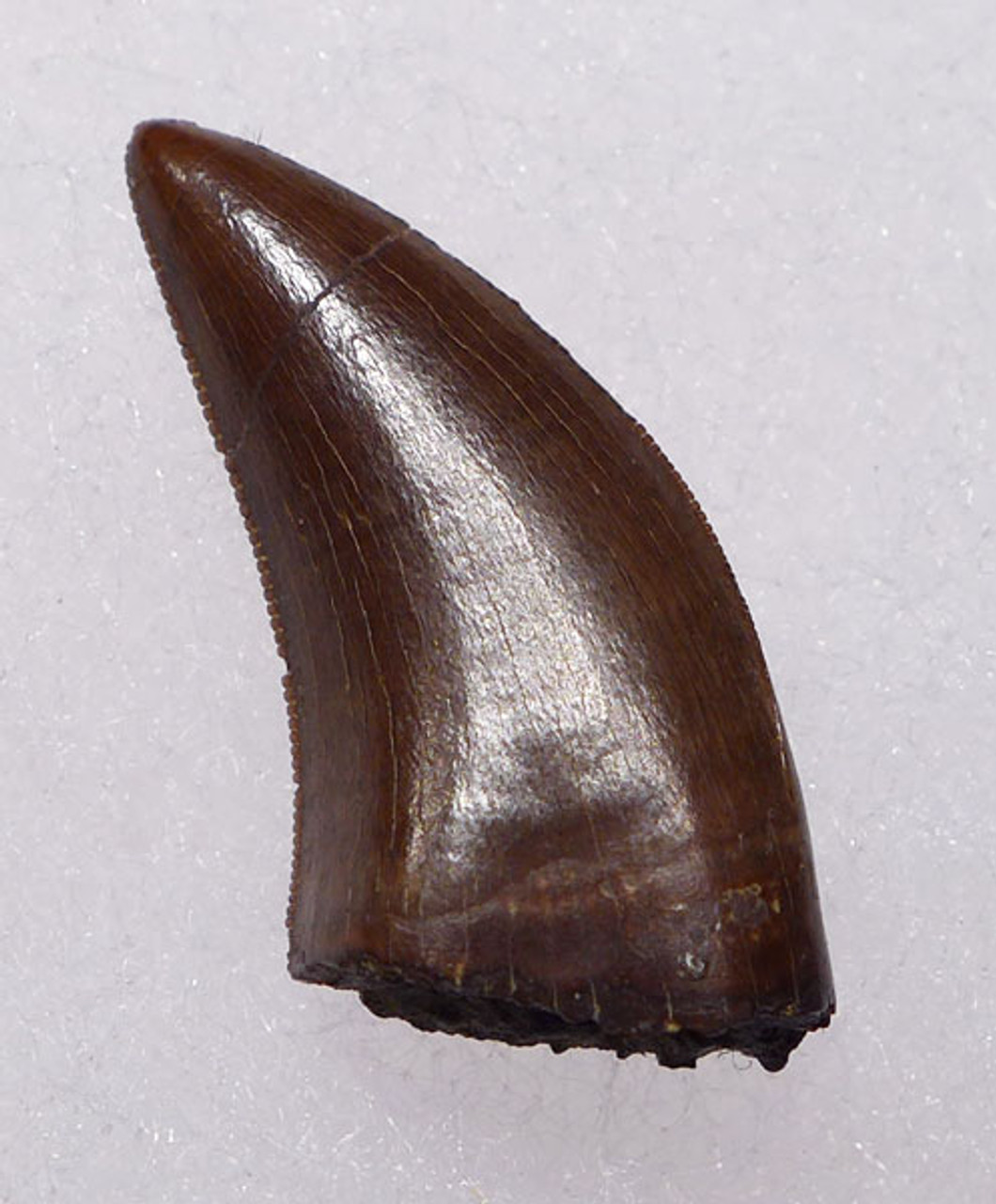 "DT6-208 - LARGE DROMAEOSAURUS ""RAPTOR"" DINOSAUR TOOTH FROM HELL CREEK"