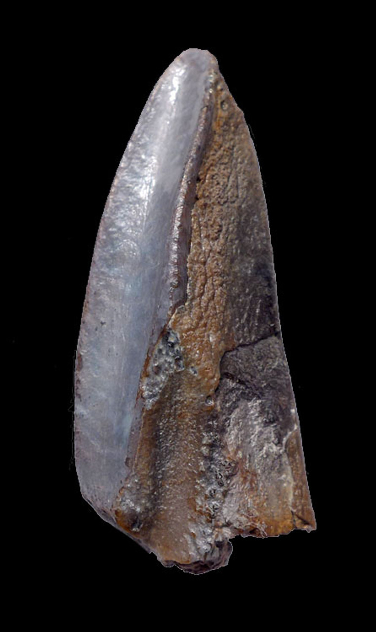 DT7-032 - LARGE UNBROKEN BABY BLUE EDMONTOSAURUS HADROSAUR DINOSAUR TOOTH WITH UNWORN CROWN