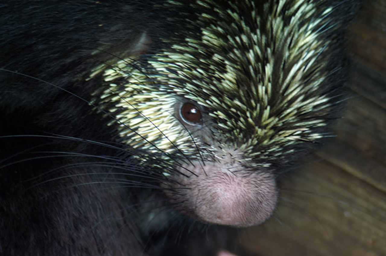 MEXICAN HAIRY PORCUPINE, A NATIVE TO CENTRAL AMERICA AND THE ANIMAL THIS SMALL CERAMIC IS MODELED AFTER.