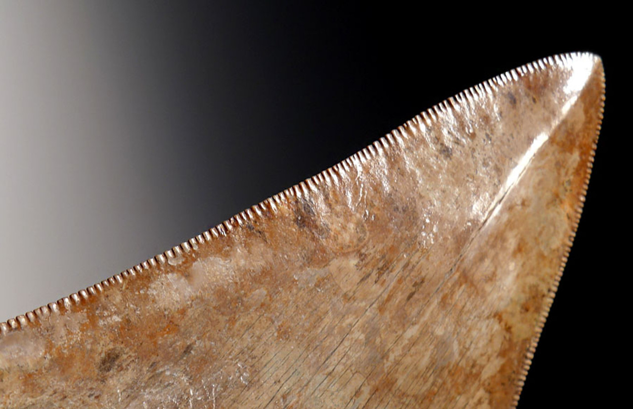 SH6-300 - COLLECTOR GRADE PEARL AND COPPER RED 3.9 INCH MEGALODON SHARK TOOTH WITH SHARP TIP AND SERRATIONS