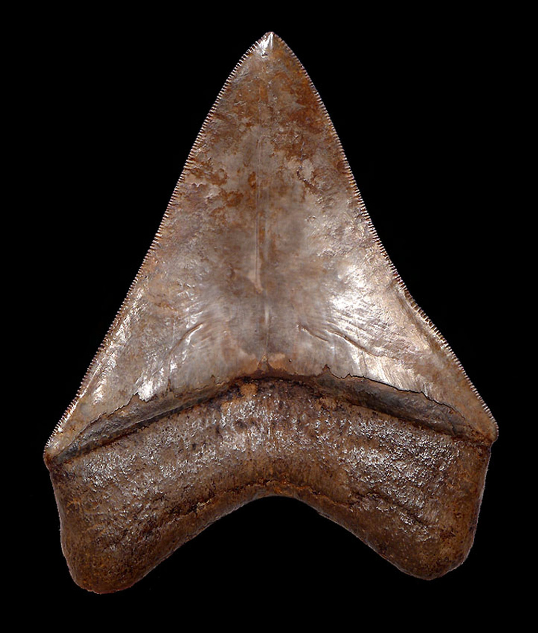 SH6-296 - COLLECTOR GRADE SILVER AND COPPER RED 4.55 INCH FOSSIL MEGALODON SHARK TOOTH