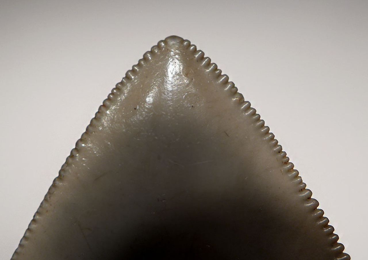 SH6-295 - NEARLY 5 INCH FINE GRADE LIGHT GRAY-GREEN MEGALODON SHARK TOOTH