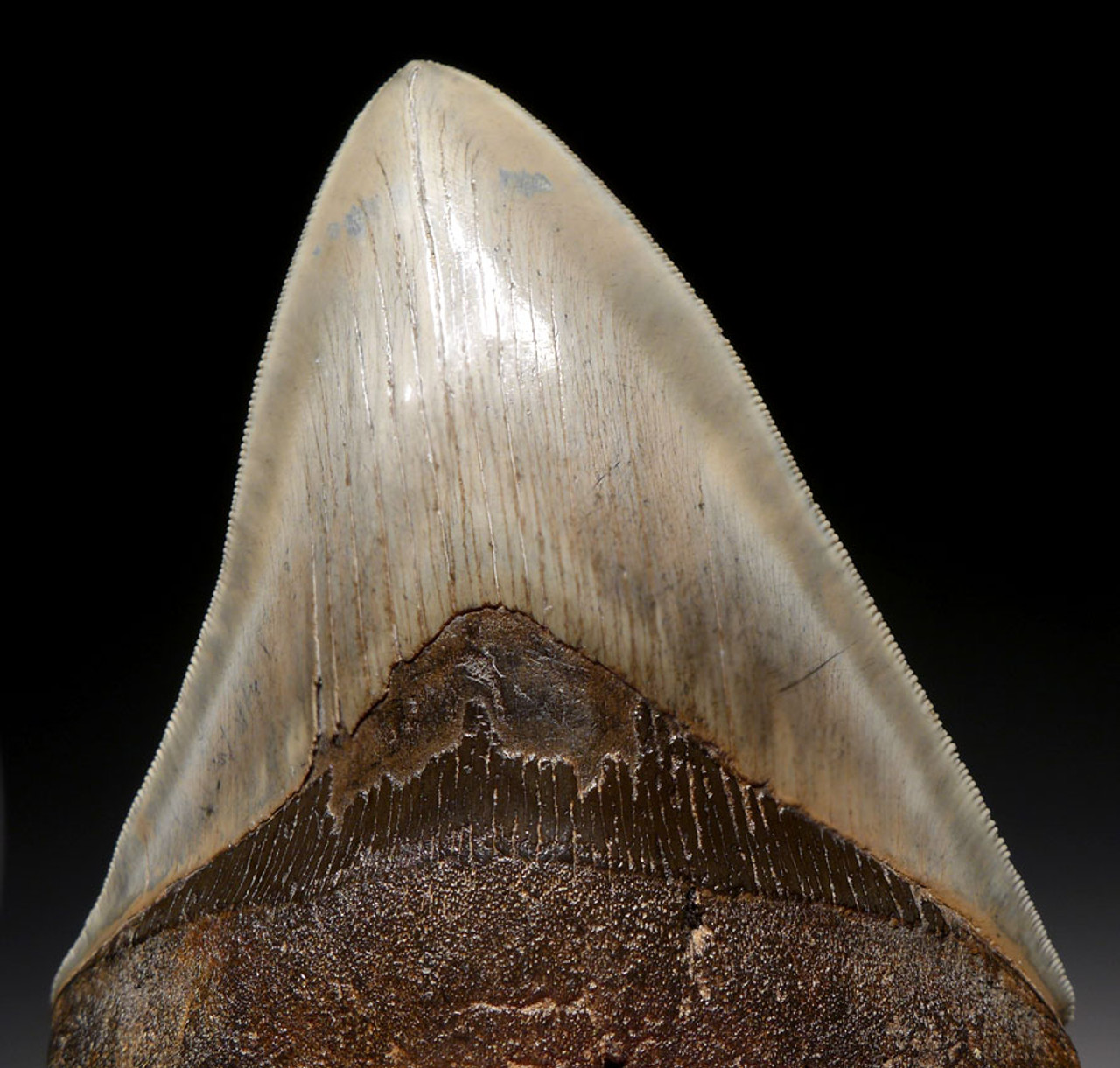 SH6-294- COLLECTOR GRADE 5.25 INCH MEGALODON SHARK FOSSIL TOOTH