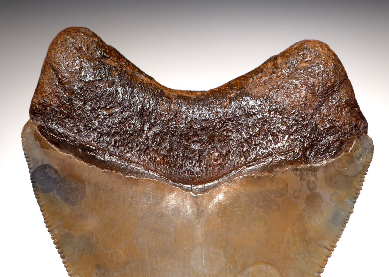 SH6-293 - COLLECTOR GRADE SPOTTED GOLD SILVER 4.15 INCH MEGALODON SHARK TOOTH