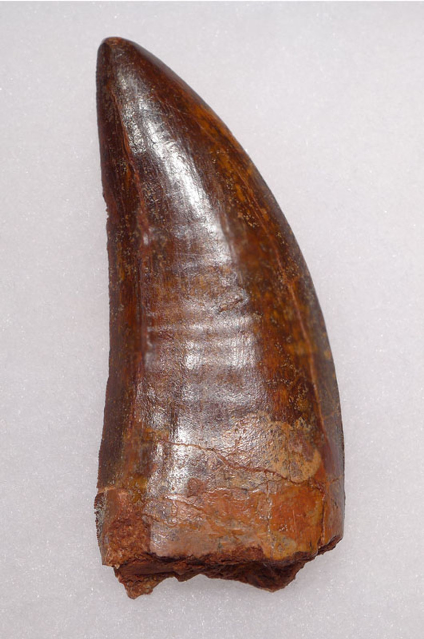 DT2-058 - INVESTMENT QUALITY UNBROKEN 3.25 INCH CARCHARODONTOSAURUS DINOSAUR TOOTH