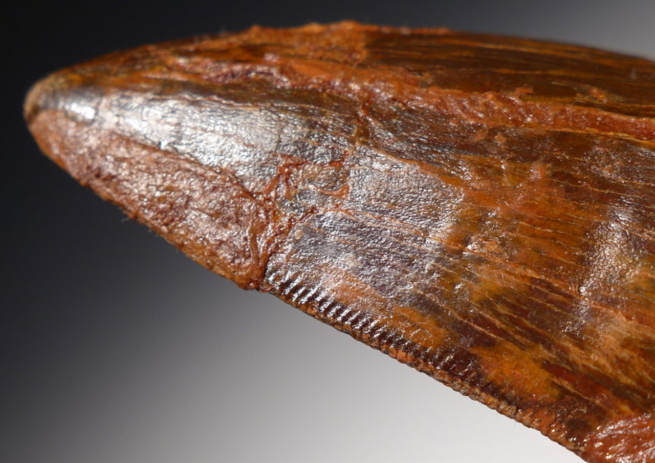 DT2-060 - 3.25 INCH CARCHARODONTOSAURUS DINOSAUR TOOTH