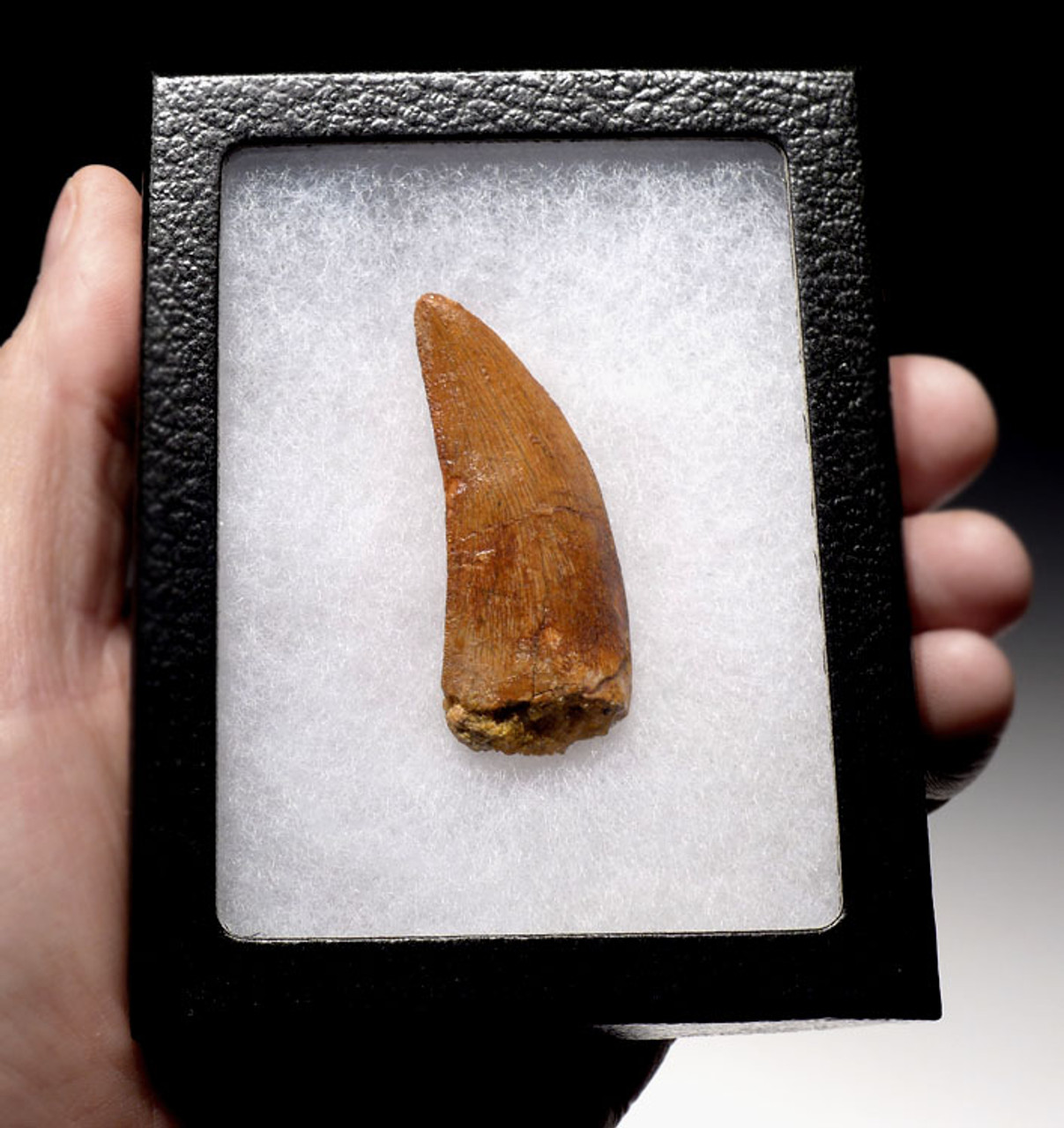 DT11-033 - LARGE TOP GRADE 2.25 INCH DELTADROMEUS DINOSAUR TOOTH
